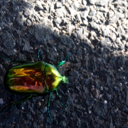 Any excuse to stop on a climb is welcome, especialy if it's some sort of multi coloured beetle