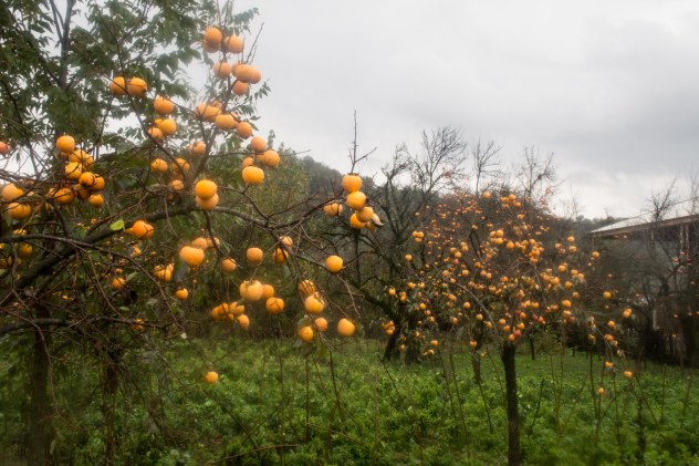 It really doesn't seem like there should have been oranges growing in Georgia