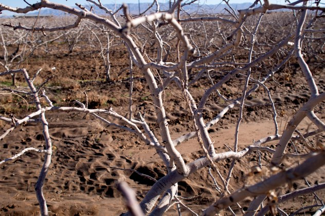 Pistachio bush or tree
