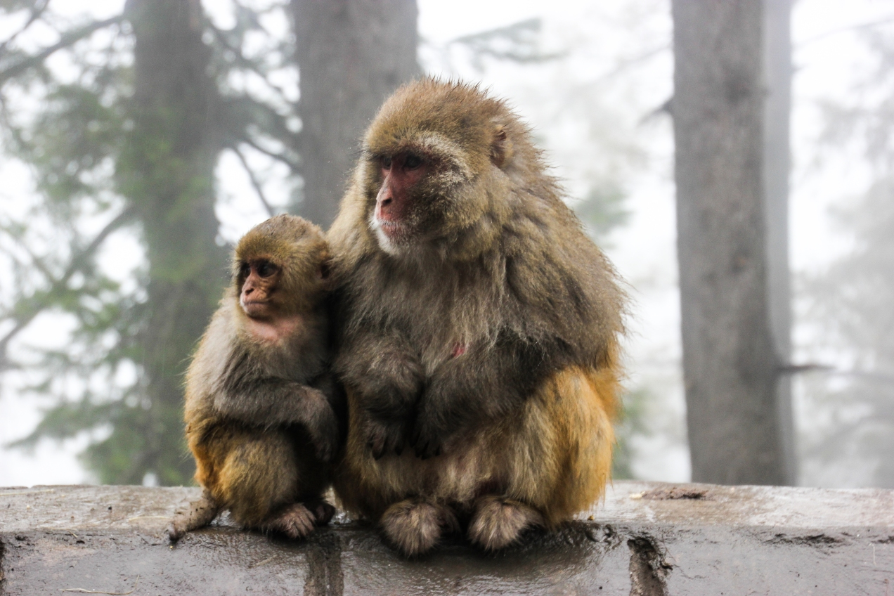 The first sighting of the monkeys that reside in the Himalayan foothills north of Islamabad.
