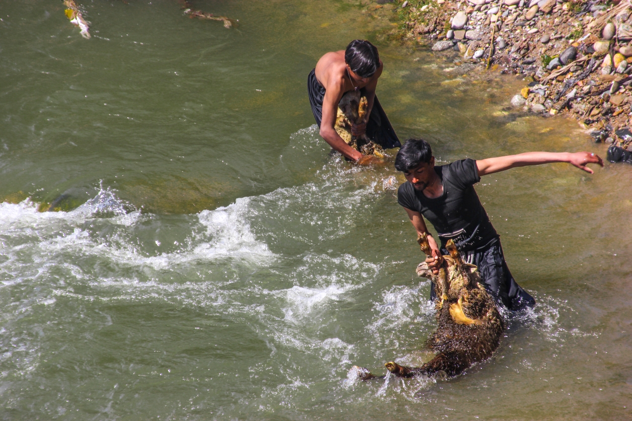 Two young herdsmen-boys washing their sheep in the river Indus.