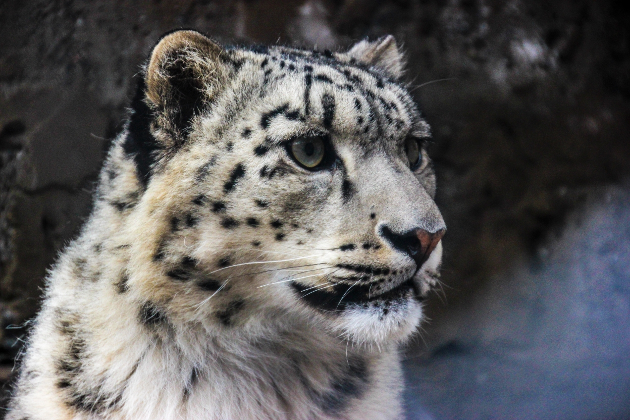 "This is ""Lole"", she is one of the last few remaining Snow Leopards left on the Planet. She was rescued by local men while trying to cross the river when she was only 6 months old. Now she is an adult and is under the care of the local wildlife protection that keeps her in an enclosure outside the small village of Sost."