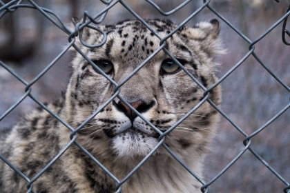 Loli was a snow leopard that the nature reserve had rescued and now looked after