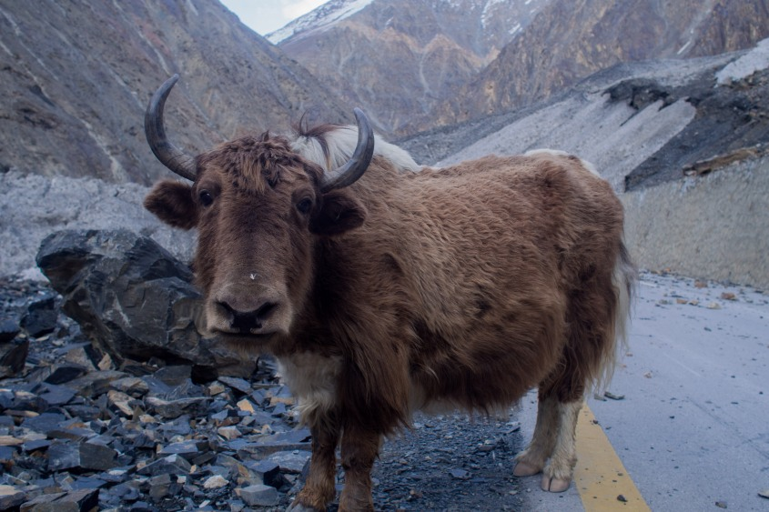 An adorable Yak