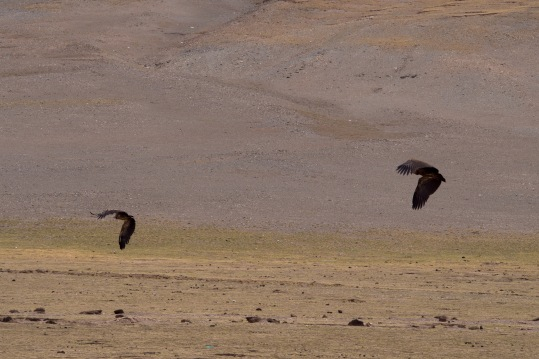 Huge vultures scared from a carcas .