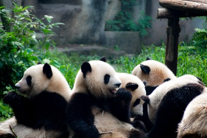 The pandas are completely focused on eating. They don't even move they're heads to see where the bamboo is they just grope at the pile hoping to pidk something up while they still eating