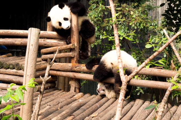 The panda cubs were hilariously. Seeing these guys climb and wrestle explains why there are so few left in the wild.