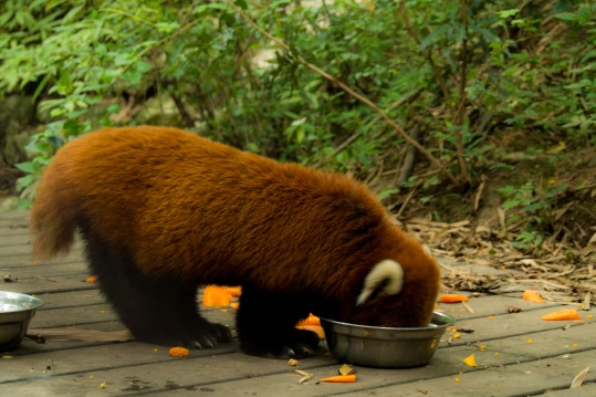 A red panda having lunch.